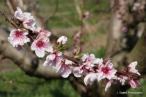 Blooms on a Peach Tree
