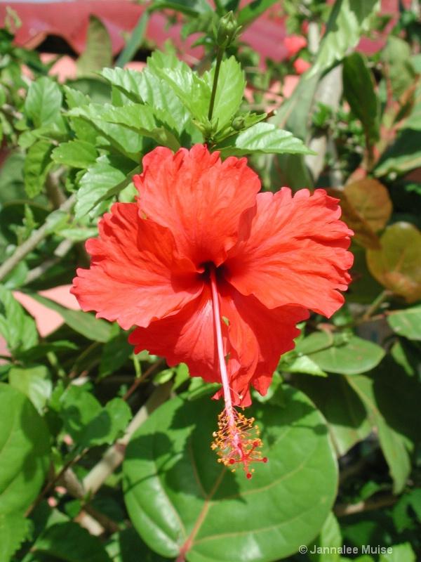 Belize flower - ID: 11543302 © Jannalee Muise