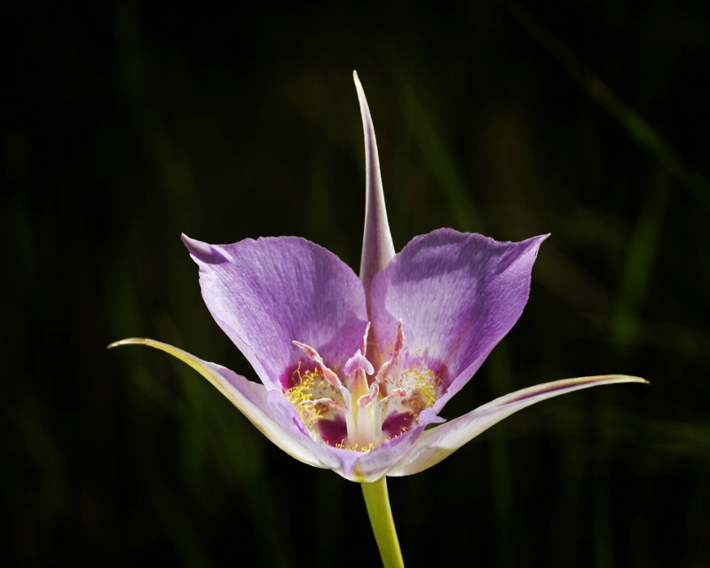 Mariposa Lily - ID: 11544652 © Norman W. Dougan