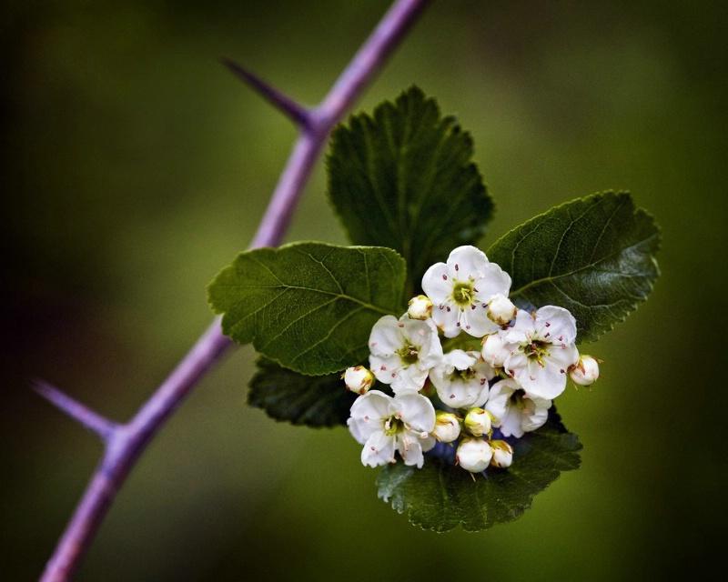 Hawthorne Blooms - ID: 11544657 © Norman W. Dougan