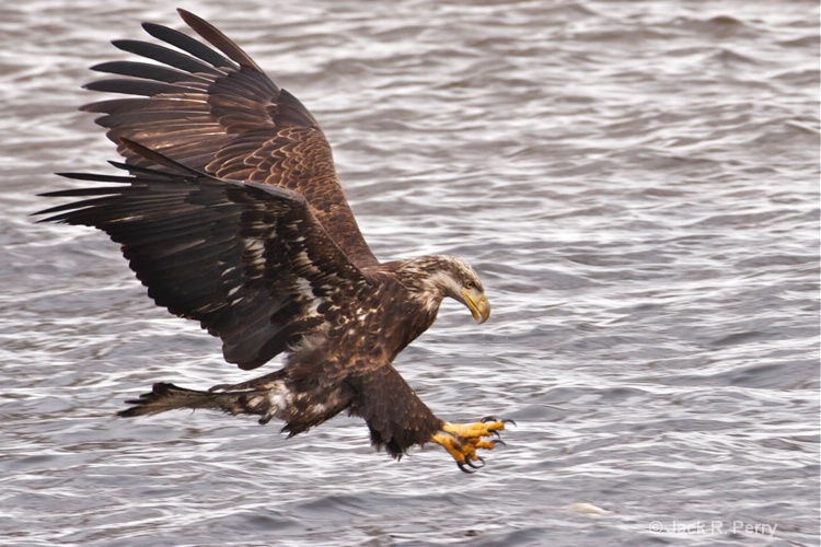 An In-mature Bald Eagle.