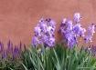 Taos Iris