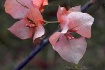 Pink Bougainville...