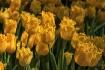 Ruffled petals