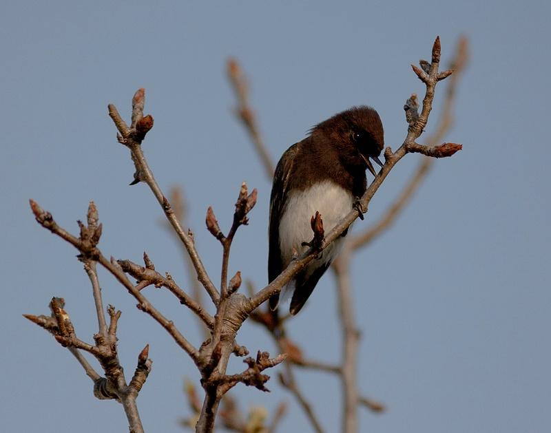 Black Phoebe On A Pear Tree