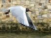 black headed gull...