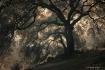 The Sinister Oaks