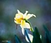Bug on the Daffod...