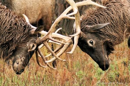 Elk Dominance