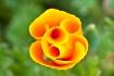 Furled Poppy