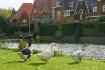 Amsterdam Ducks