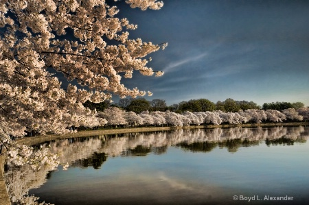 Cherry Blossoms Reflections