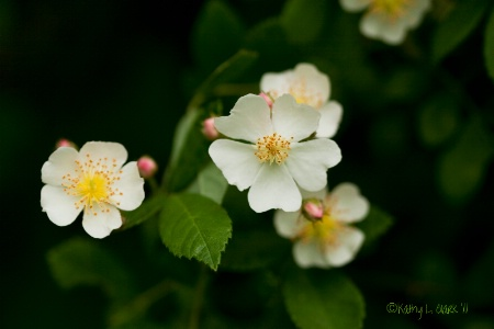 Wild Rambling Rose