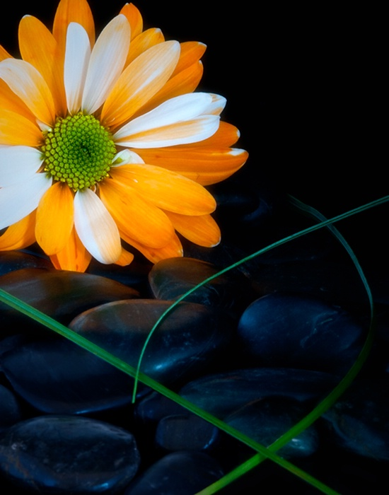 Gerbera on the Rocks