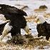 2Bald Eagle - ID: 11589706 © Norman W. Dougan