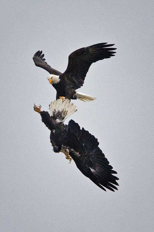 Bald Eagle - ID: 11589713 © Norman W. Dougan