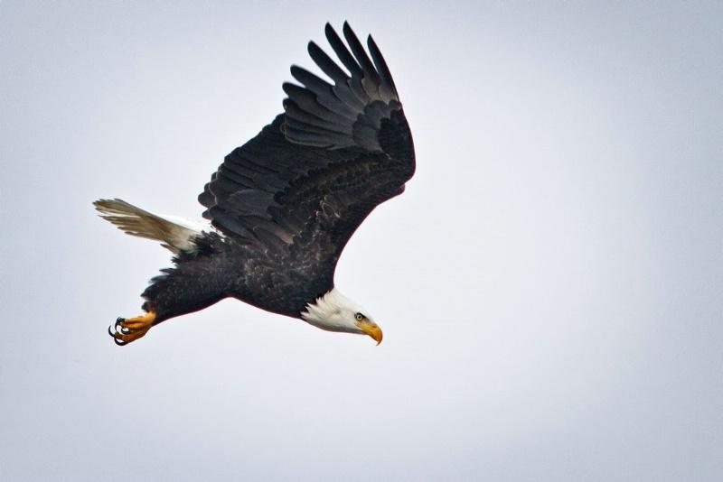 Bald Eagle - ID: 11589714 © Norman W. Dougan