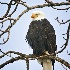 2Bald Eagle - ID: 11589715 © Norman W. Dougan