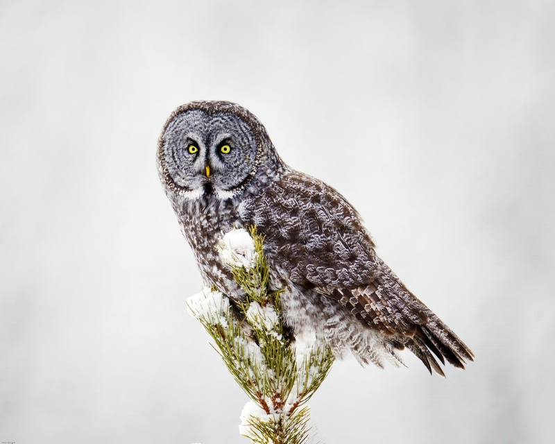 Great Grey Owl - ID: 11589716 © Norman W. Dougan