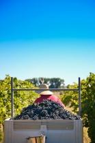 Wine Shoot - Harvesting the Grapes
