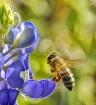 Bee 'bonnet!