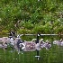 2Canada Geese Family - ID: 11602469 © Norman W. Dougan