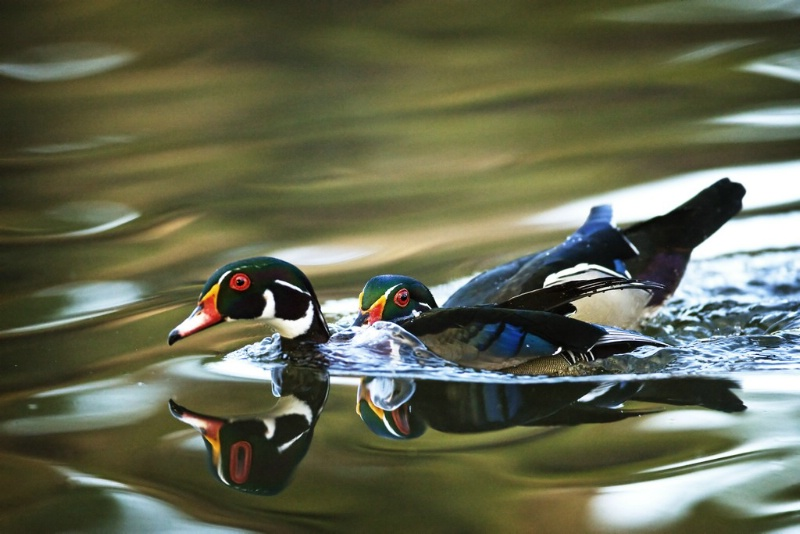 Wood Duck Territorial Dispute. - ID: 11602471 © Norman W. Dougan