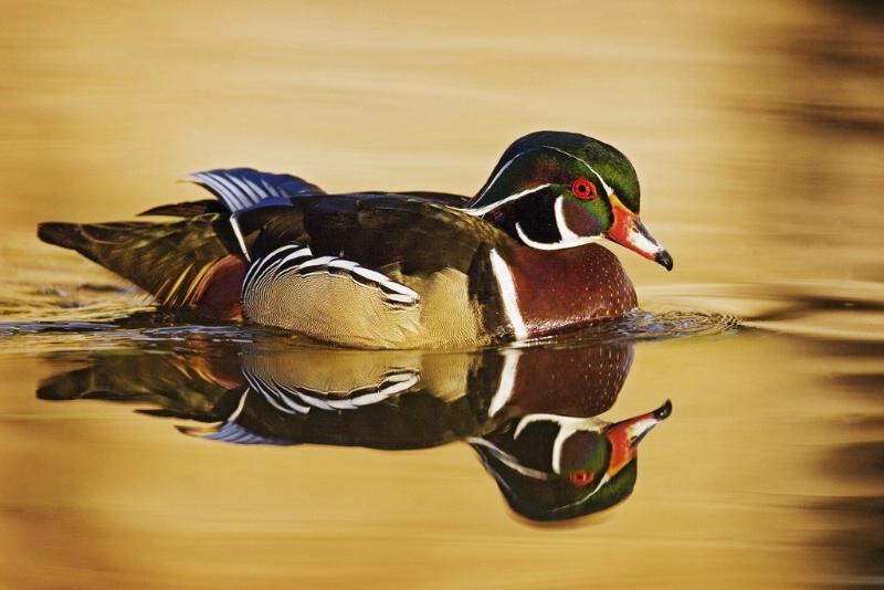 Wood Duck Drake - ID: 11602472 © Norman W. Dougan