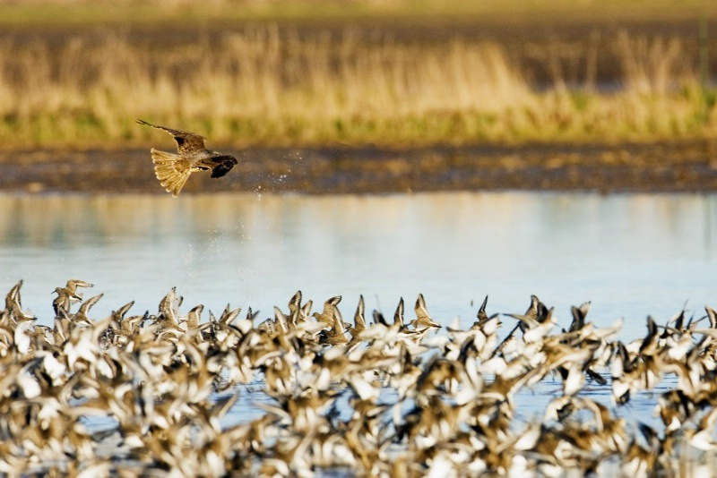 Peregrine catching Dunlin - ID: 11602476 © Norman W. Dougan