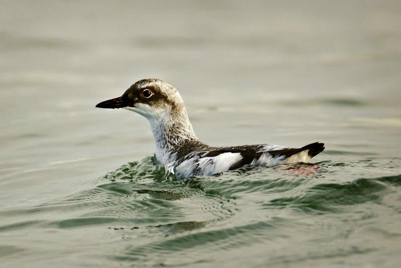 Pigeon Guillemot - ID: 11602478 © Norman W. Dougan