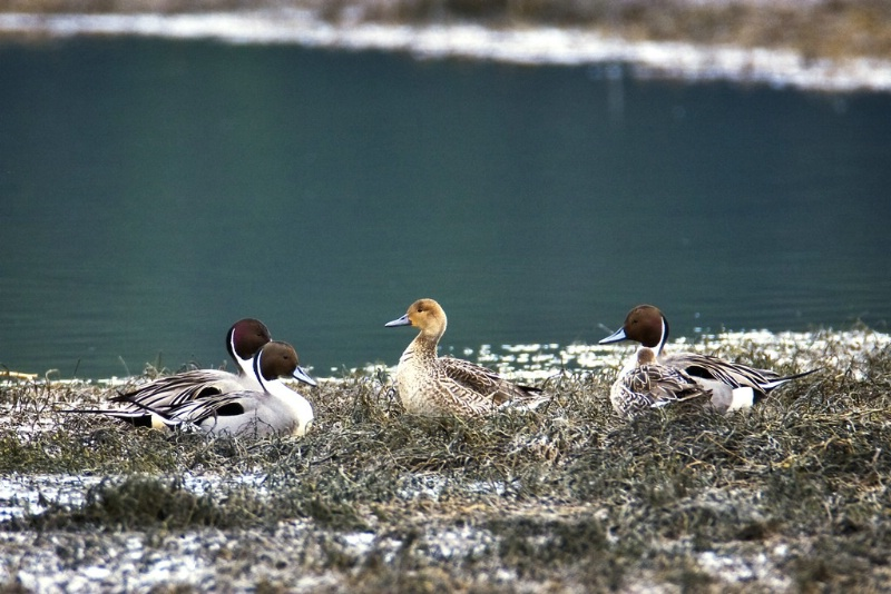 Northern Pintail Queen - ID: 11602479 © Norman W. Dougan