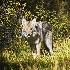 2Hunting Coyote - ID: 11602630 © Norman W. Dougan