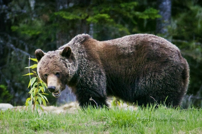 Grizzly Bear - ID: 11602640 © Norman W. Dougan