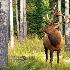 2Herd Boss - Bull Elk - ID: 11603542 © Norman W. Dougan
