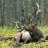 2Rest Period - Bull Elk - ID: 11603548 © Norman W. Dougan