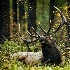 2Bull Elk  - ID: 11603571 © Norman W. Dougan