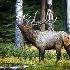 2Bull Elk Bugling - ID: 11603573 © Norman W. Dougan