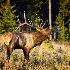 2Bull Elk Bugling - ID: 11603574 © Norman W. Dougan