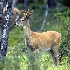 2Whitetail Deer - Buck - ID: 11603575 © Norman W. Dougan