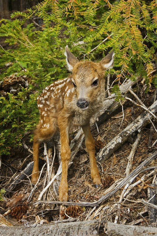 Blacktail Deer -  Fawn - ID: 11603576 © Norman W. Dougan