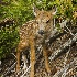 2Blacktail Deer -  Fawn - ID: 11603576 © Norman W. Dougan