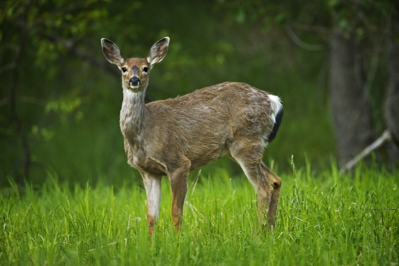 Blacktail Deer - Doe - ID: 11603577 © Norman W. Dougan