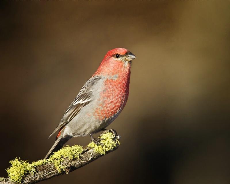 Male Pine Grosbeak - ID: 11603626 © Norman W. Dougan