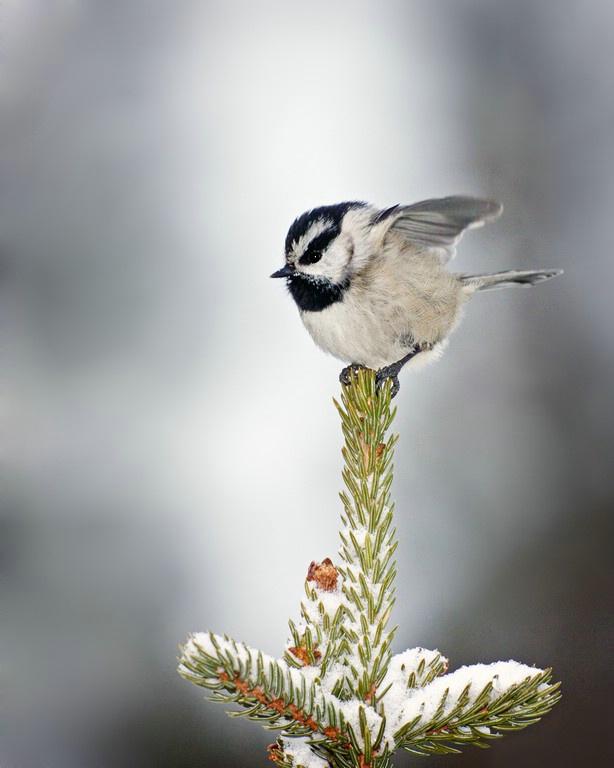 Mountain Chickadee - ID: 11603629 © Norman W. Dougan