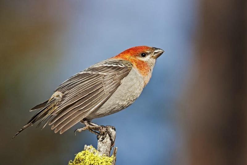 Juvenile Male Pine Grosbeak - ID: 11603631 © Norman W. Dougan