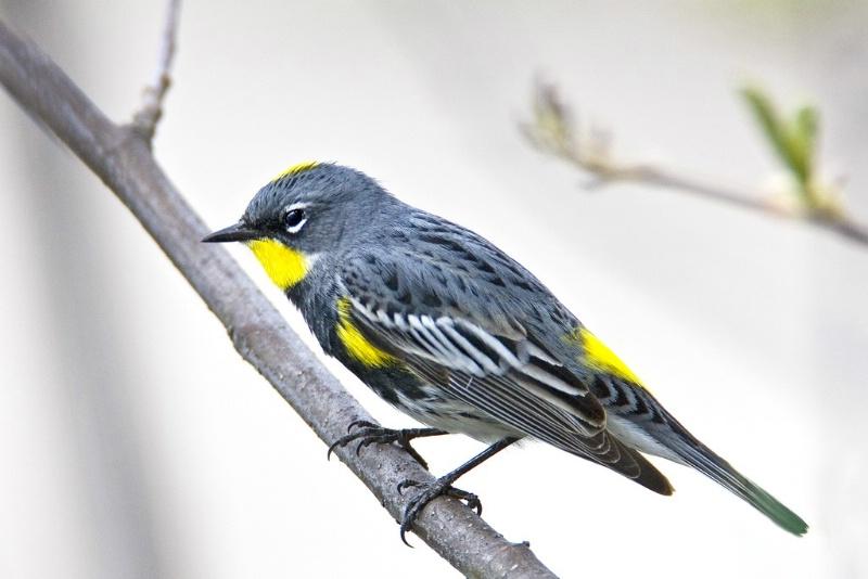 Audobon's Yellow-Rumped Warbler - ID: 11603637 © Norman W. Dougan