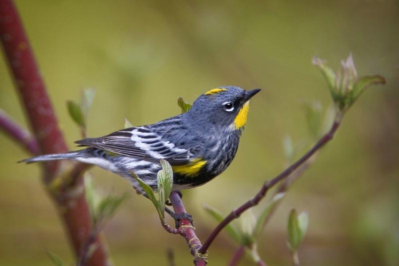Audobon's Yellow-Rumped Warbler - ID: 11603638 © Norman W. Dougan