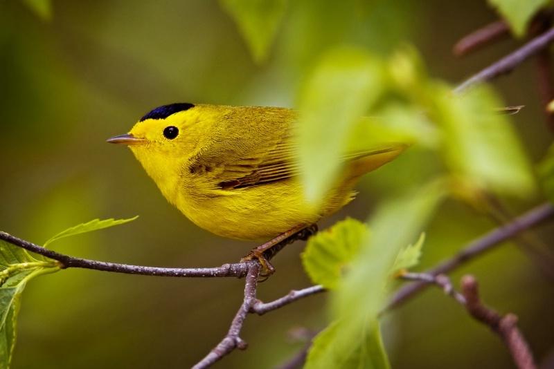 Wilson's Warbler - ID: 11603639 © Norman W. Dougan