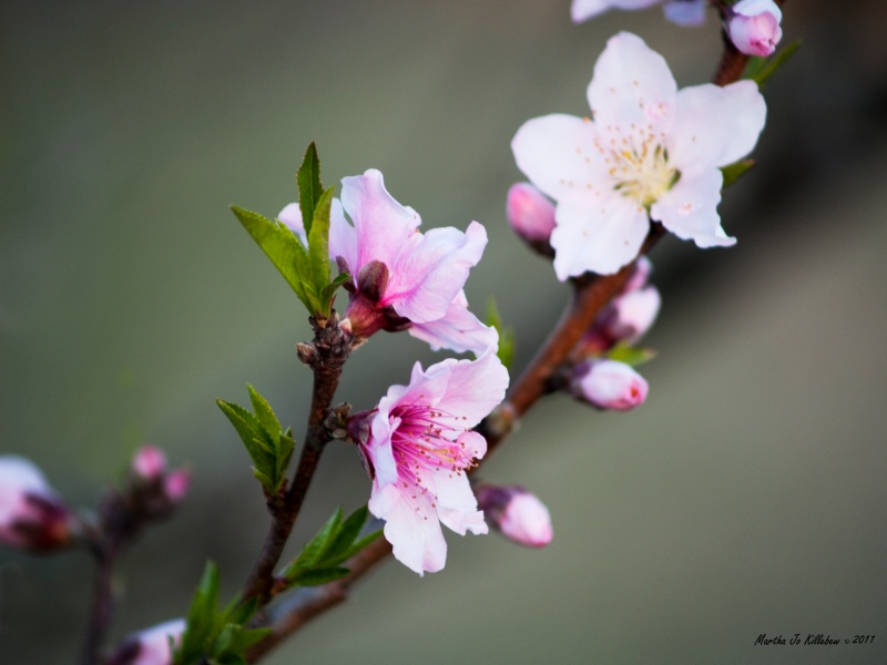 Peach Blossom 70