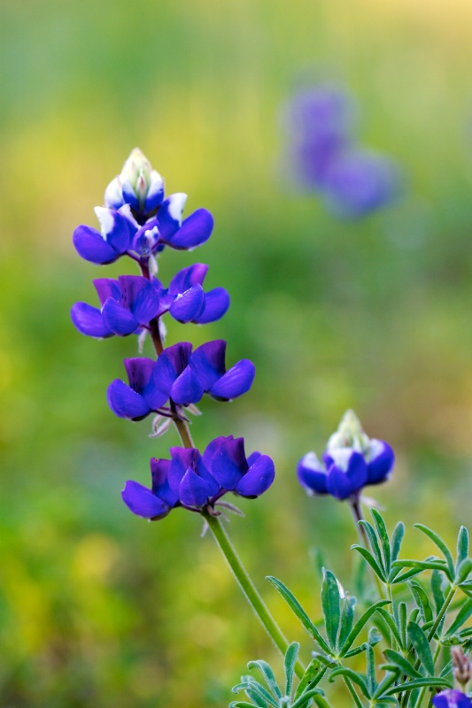 Blue Bonnets are Blooming